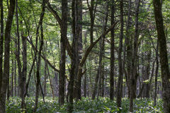 Virgin Forest Royalty Free Stock Photography