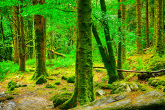 Virgin forest, Killarney National Park, Ireland Royalty Free Stock Images