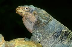 A Virgin Islands Rock Iguana Stock Photography