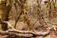 Virgin mountain rainforest of Marlborough, NZ Stock Images