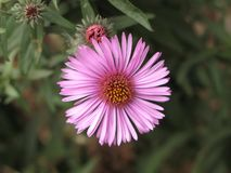 Virgin Pink Aster Stock Photography