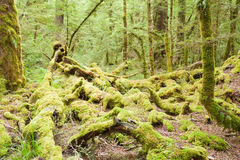 Virgin rainforest wilderness of Fiordland NP NZ Royalty Free Stock Photography