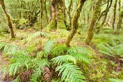 Virgin rainforest wilderness of Fiordland NP NZ Stock Photos