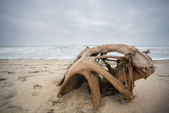 Virgin tropical beach at Palomino. In La Guajira, Colombia with dead tree trunk in the foreground Stock Images