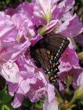 Virgina-Schmetterling stockfotografie