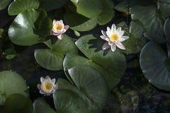 virginalis do nymphaea no luminoso no por do sol no jardim botânico Fotos de Stock