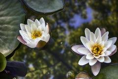 virginalis do nymphaea no luminoso no por do sol no jardim botânico Imagens de Stock Royalty Free