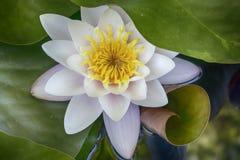 virginalis do nymphaea no luminoso no por do sol no jardim botânico Imagem de Stock Royalty Free