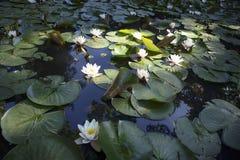virginalis do nymphaea no luminoso no por do sol no jardim botânico Fotografia de Stock