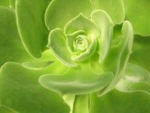 Virgineum Webb - succulent d'Aeonium Images libres de droits
