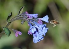 Virginia Blue Bells and Bee Royalty Free Stock Photo