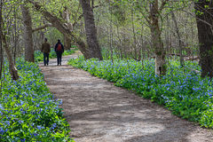 Virginia Bluebell Festival Stock Photography