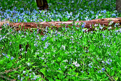 Virginia Bluebell Heaven Royaltyfria Bilder