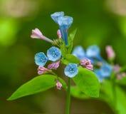 Virginia Bluebell (Mertensiavirginica) blommor arkivfoto