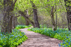 Virginia Bluebell Potomac Heritage Trail Spring Seasonal Scenic Stock Images