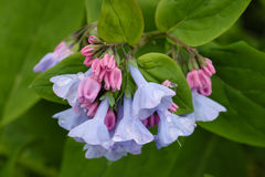 Virginia Bluebell Spring Bloom Blue Pink Flower  Stock Images