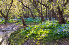 Virginia Bluebell Spring Woodland Scenic Royalty Free Stock Images