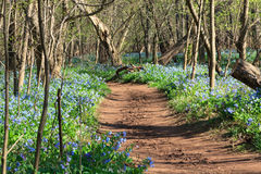 Free Virginia Bluebell Woodland Trail Royalty Free Stock Images - 33091499