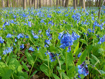 Virginia Bluebells. Forest floor covered with blooming Virginia Bluebells royalty free stock photo