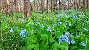 Virginia Bluebells en Illinois almacen de metraje de vídeo