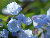 Virginia Bluebells in fioritura Immagine Stock