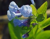 Virginia Bluebells in fioritura Fotografie Stock