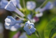 Virginia Bluebells in fioritura Fotografia Stock Libera da Diritti