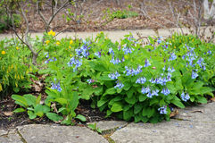 Virginia Bluebells Flowers royalty-vrije stock afbeelding