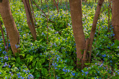 Virginia bluebells in Harper's Ferry, West Virginia Stock Photography
