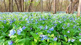 Virginia Bluebells in Illinois Royalty Free Stock Image