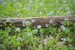 Virginia Bluebells and log Royalty Free Stock Image