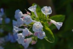 Virginia Bluebells in primavera Fotografie Stock Libere da Diritti