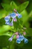 Virginia Bluebells (virginica do Mertensia) imagens de stock