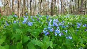 Virginia Bluebells w Illinois zdjęcie wideo
