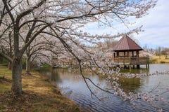 Virginia Cherry Blossoms Regional Park Spring Royalty Free Stock Photos