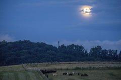 Virginia Cows under en fullmåne royaltyfri foto