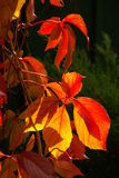Virginia creeper 06 Royalty Free Stock Photos