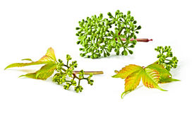 Virginia creeper. Stock Images