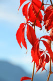 Virginia Creeper Royalty Free Stock Images