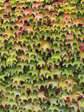 Virginia creeper. Green and red virginia creeper, early autumn Royalty Free Stock Photography