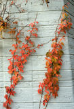 Virginia Creeper Stock Photos