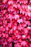 Virginia Creeper Imagem de Stock Royalty Free