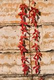 Virginia creeper. On limestone wall Royalty Free Stock Photos