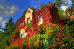 Virginia creeper Royalty Free Stock Photography