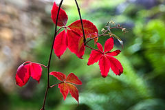 Virginia Creeper imagem de stock