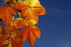 Virginia creeper. With blue sky background Stock Images