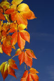Virginia creeper. With blue sky background Royalty Free Stock Photos