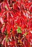 Virginia Creeper in autumn Royalty Free Stock Image