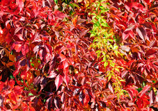 Virginia Creeper in autumn Royalty Free Stock Photo