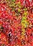 Virginia Creeper in autumn. Parthenocissus quinquefolia Stock Images